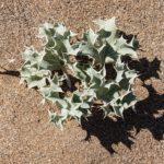 costa nostrum karteros akti beach heraklion crete flora fauna gallery 02