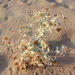 costa nostrum karteros akti beach heraklion crete flora fauna gallery 16